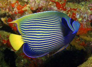 1200px-pomocanthus_imperator_emperor_angelfish_by_nick_hobgood