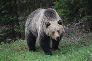 grizzly-bear-659198_960_720