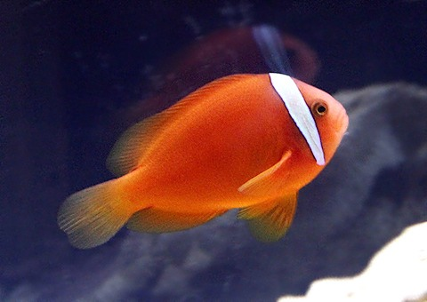 hamakumanomi