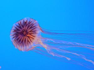 Chrysaora_hysoscella_from_Enoshima_Aquarium