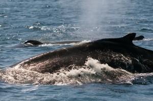 whale-631608_640