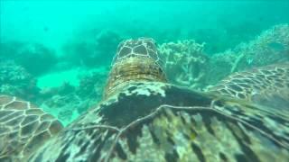 【絶景】ウミガメの背中にGoProをつけて泳がせてみた