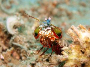 1200px-odontodactylus_scyllarus1