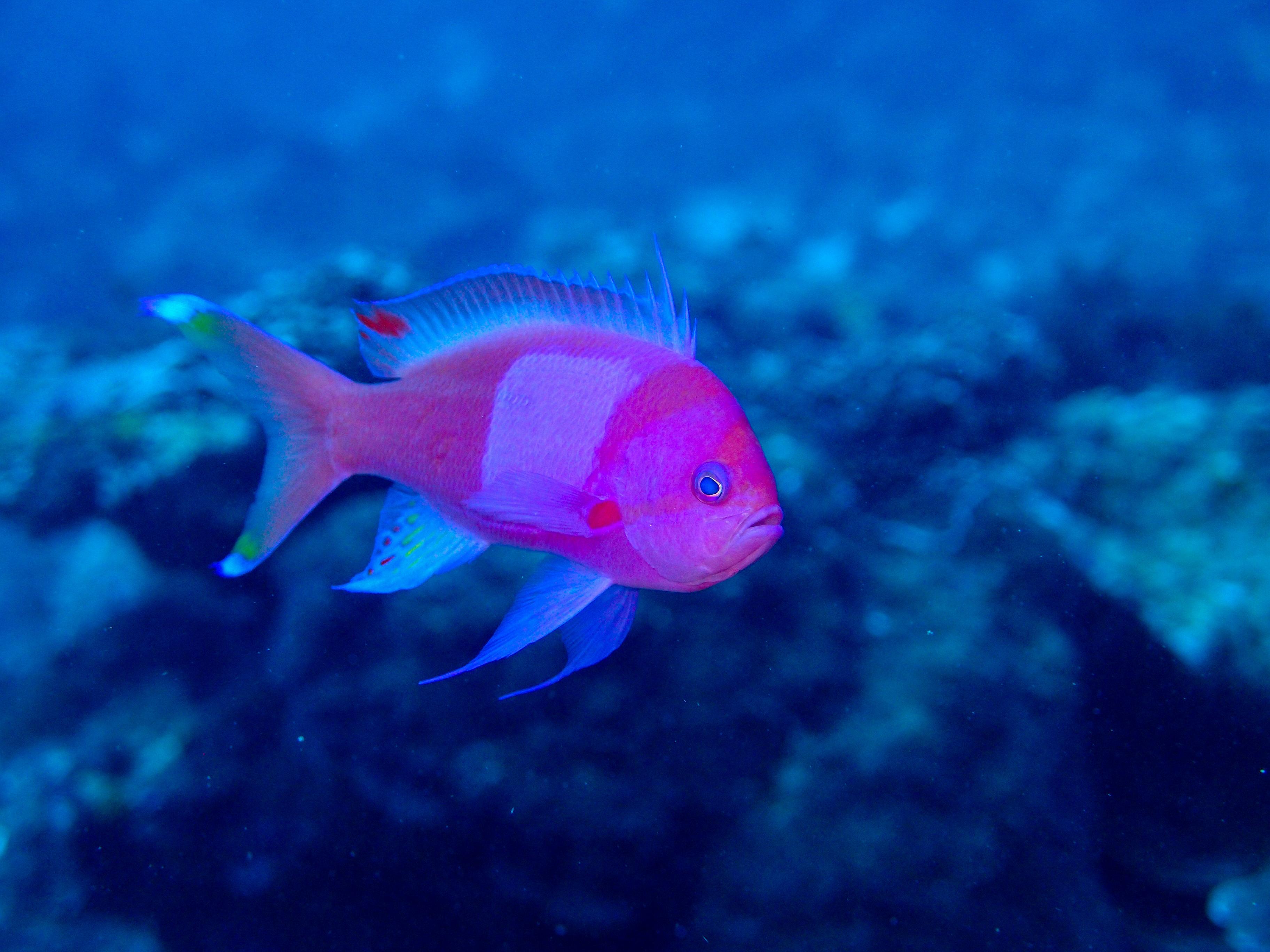 【性転換する魚】スミレナガハナダイの一生!