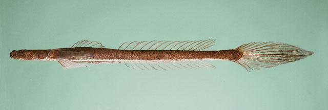 Platygobiopsis akihito1