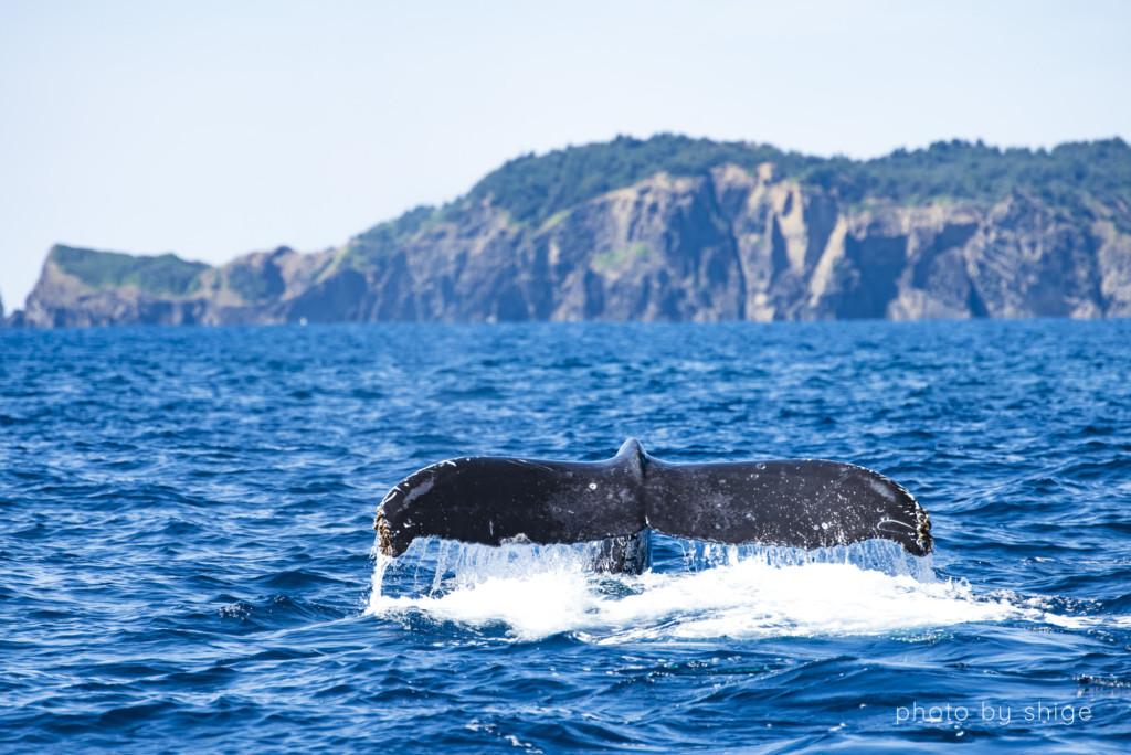 テールを上げたザトウクジラ