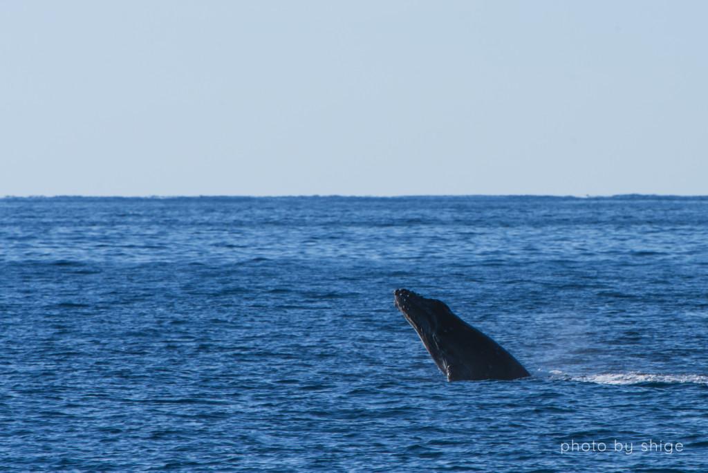 ブリーチする子どものザトウクジラ