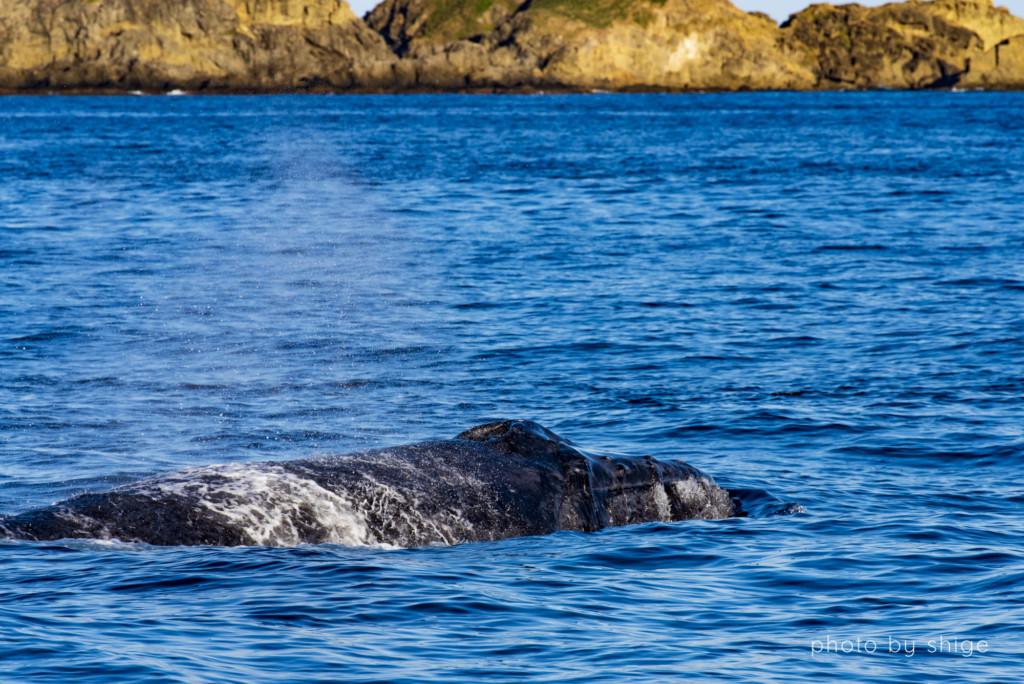 水面に姿を現したザトウクジラ