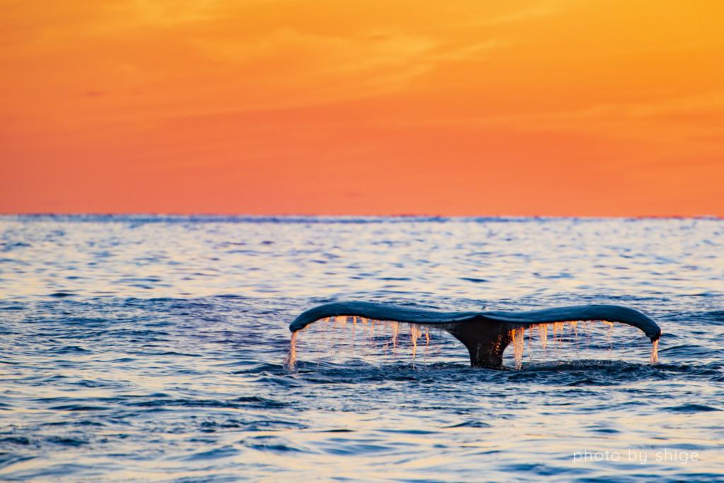 夕暮れとザトウクジラのテール