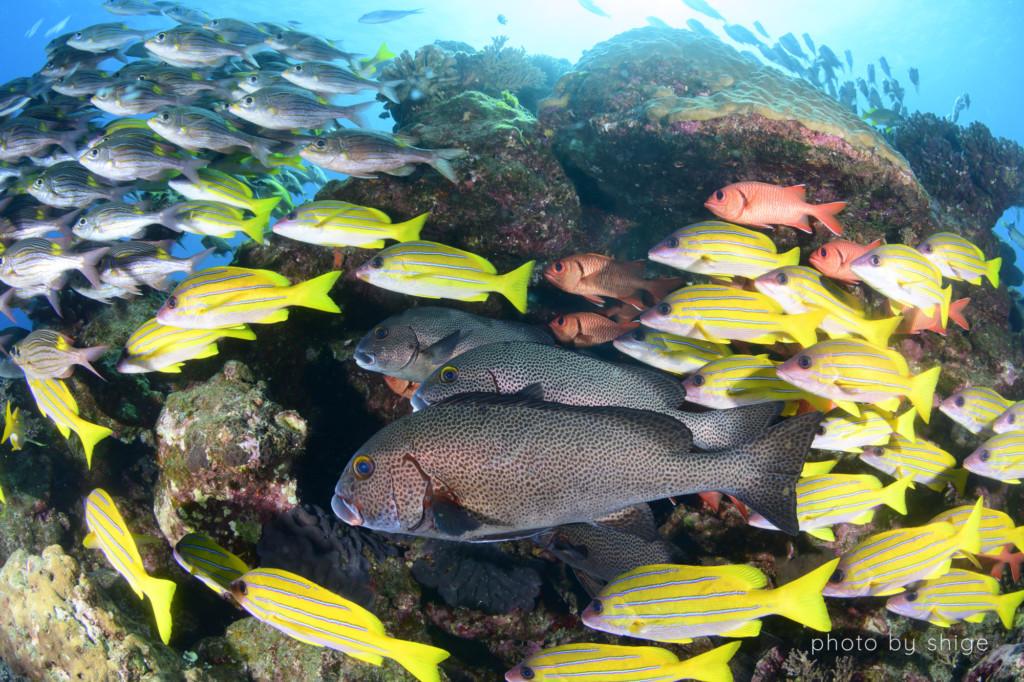 母島のヨスジフエダイなど様々な魚