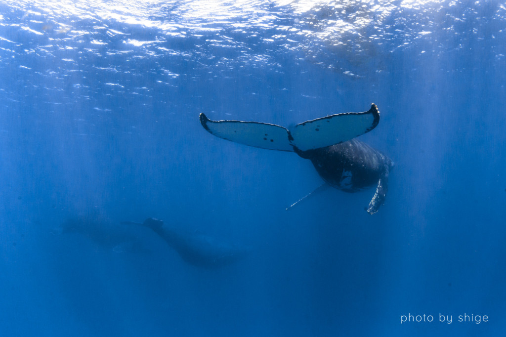 去っていくザトウクジラ