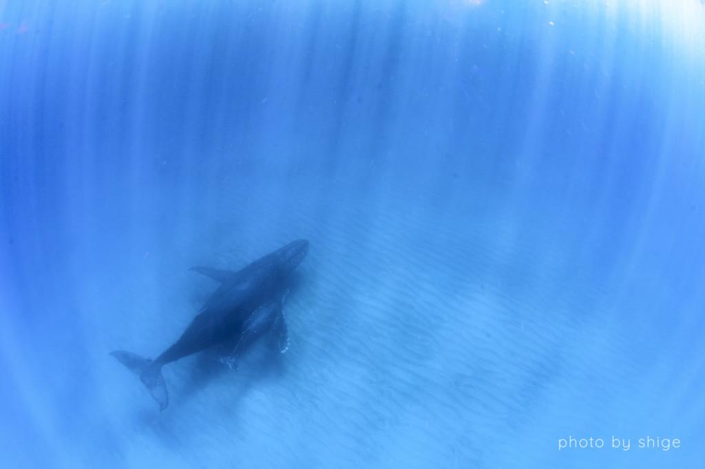 安全停止中にふと下を見ると親子クジラが通っていた。