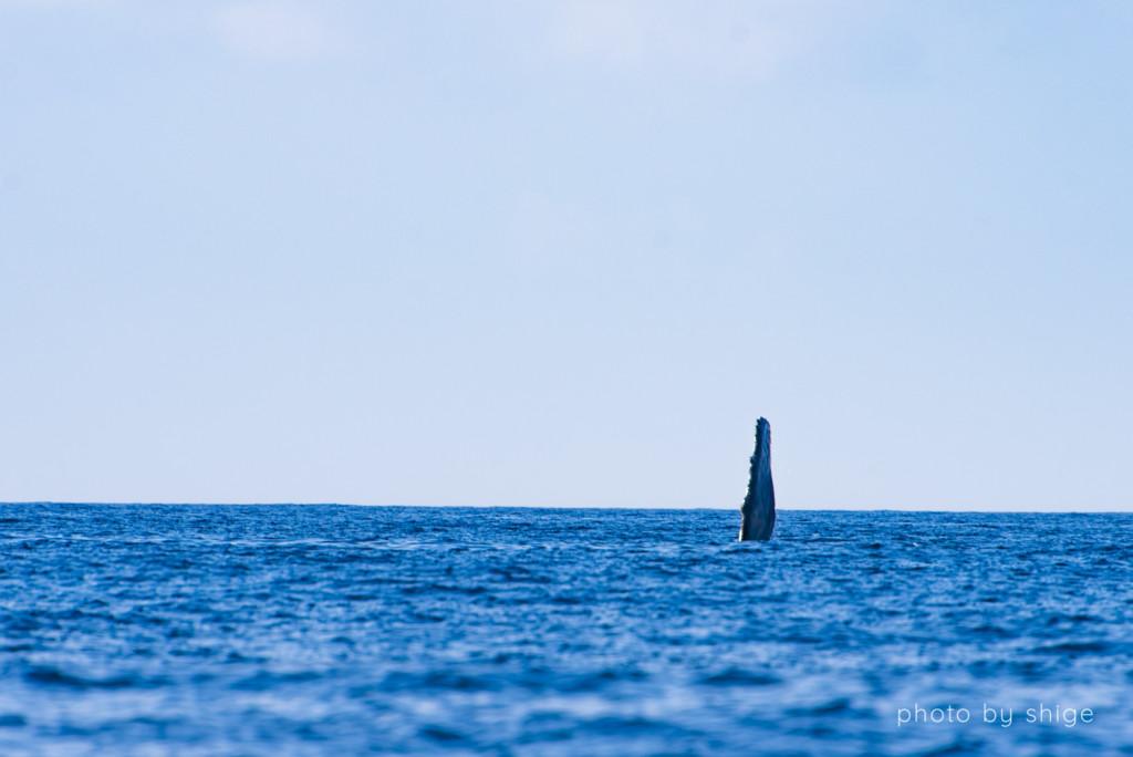 ペックスラップするザトウクジラ