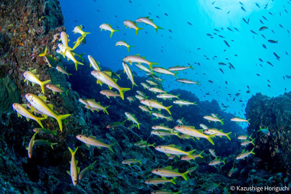 八丈島の魚群