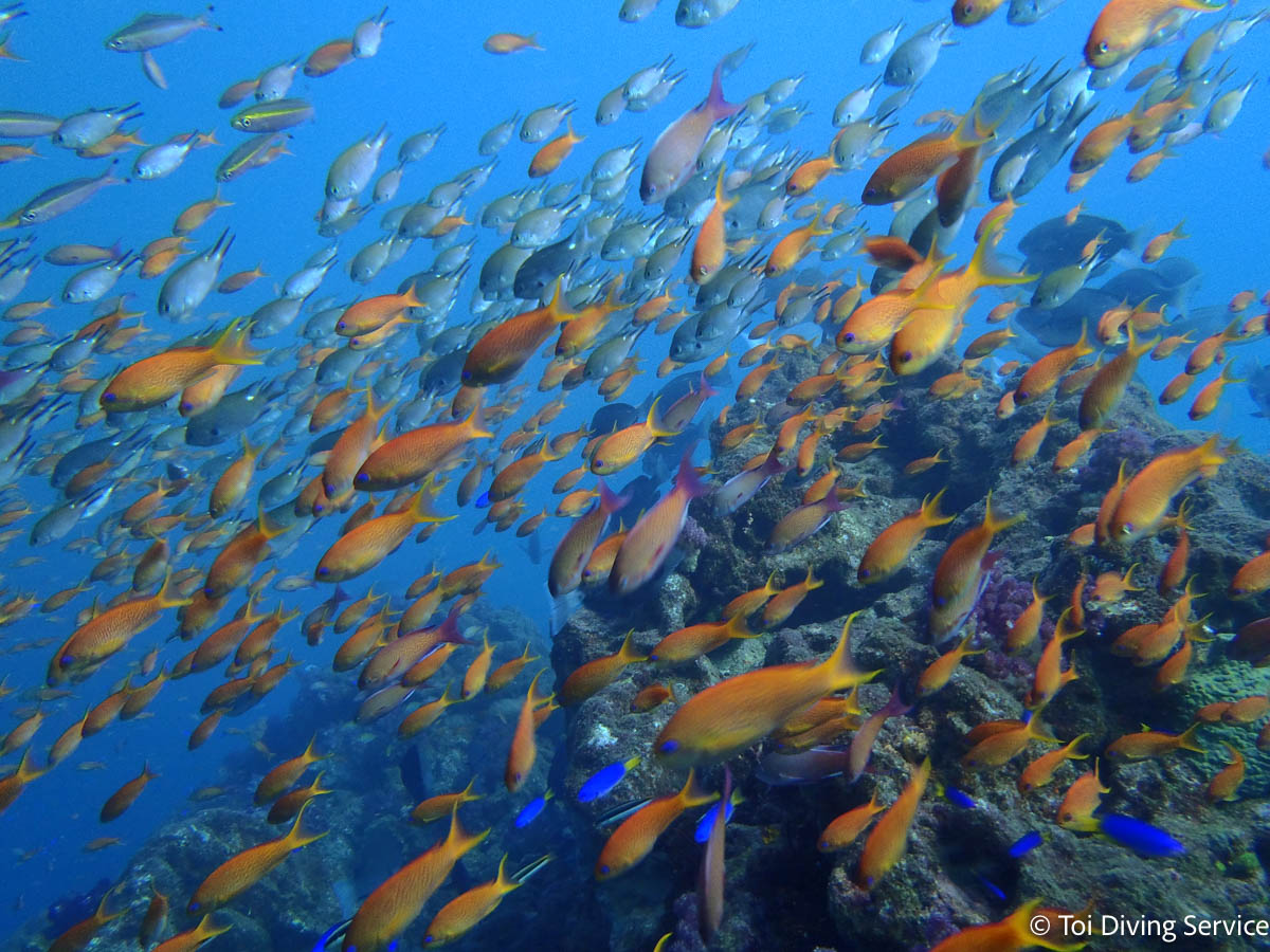 ダイビングスポット土肥の魚群
