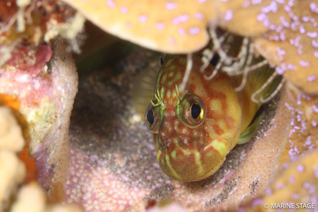スジタテガミカエルウオの保育