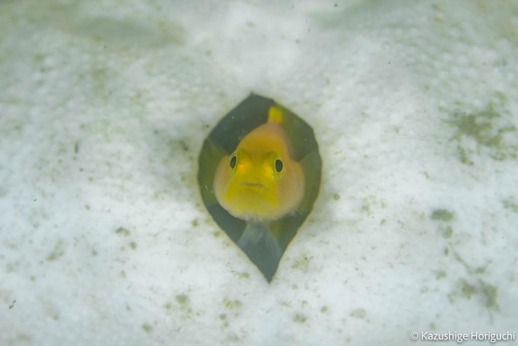 ブンブクの殻から顔を出すミジンベニハゼ