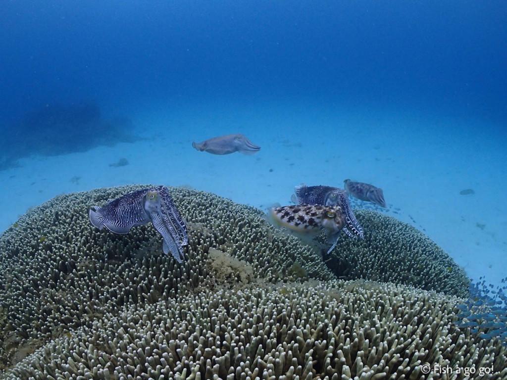 八重干瀬のコブシメ