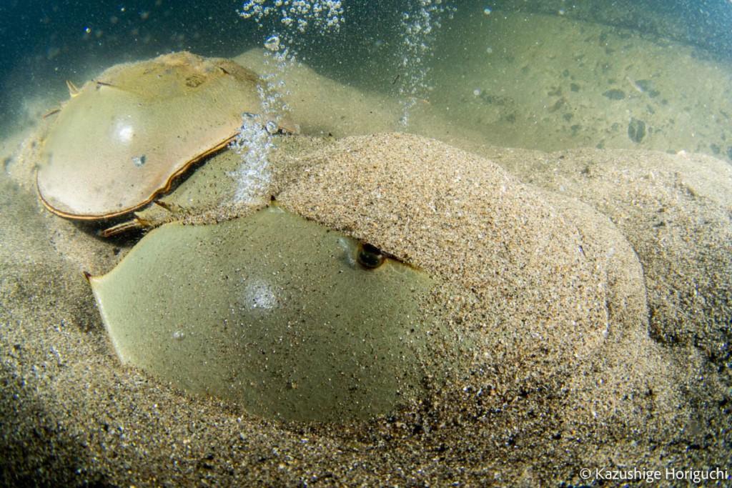 産卵は砂を掘って卵を生む