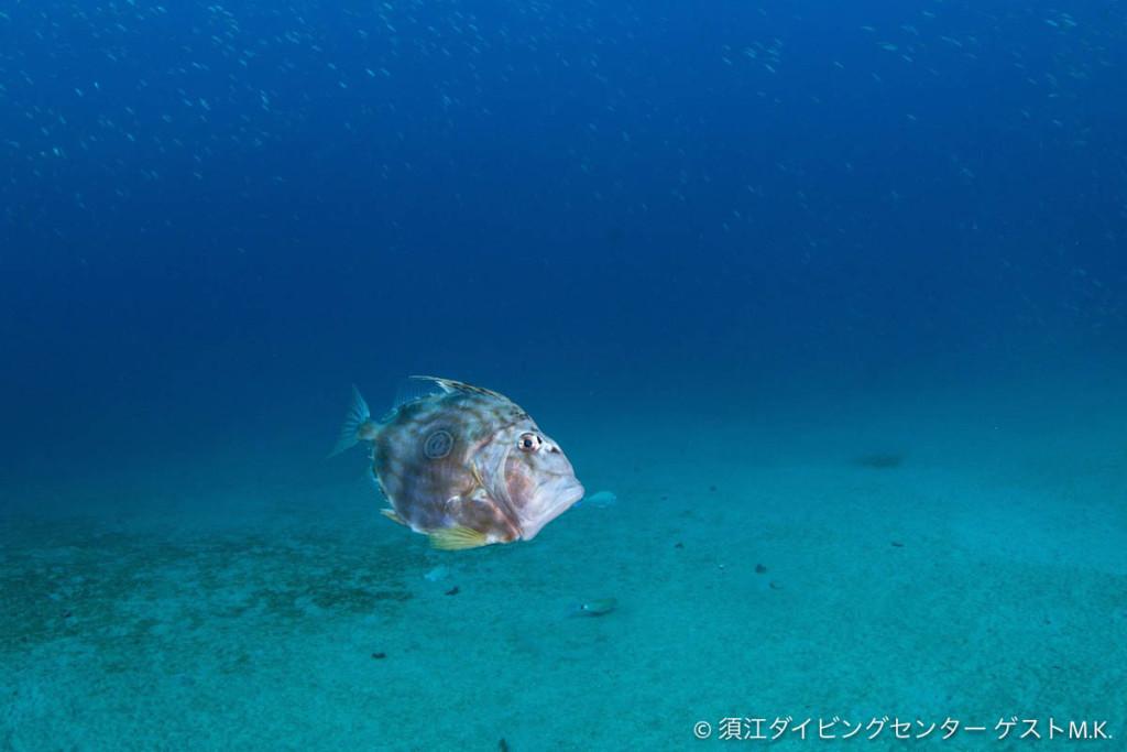 マトウダイ(須江)